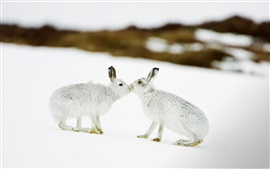 Preview wallpaper Two rabbits in snow, kiss
