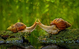Preview wallpaper Two snails, moss, water