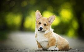 Валлийский корги, милая собака