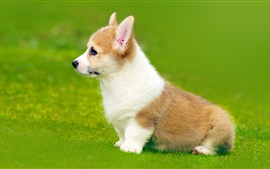 Preview wallpaper Welsh Corgi side view, puppy, grass