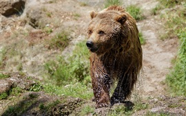 Urso marrom úmido, caminhada, grama