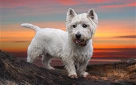 Белый щенок на закате