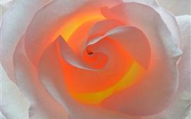 Rosa blanca, pétalos, luz de fondo