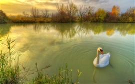 Preview wallpaper White swan in pond, trees, autumn