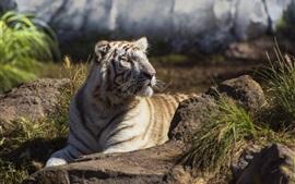 Белый тигр смотрит на сторону, скалы