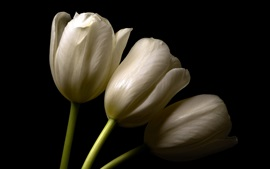 Preview wallpaper White tulips, black background