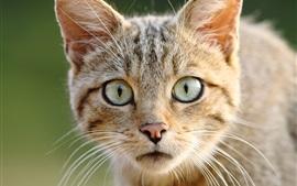 Vista frontal do gato selvagem, olhos, rosto