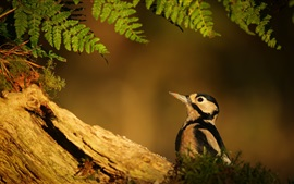 Woodpecker, leaves, dusk