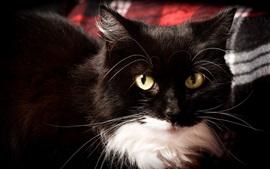 Olhos amarelos vista frontal do gato, rosto, preto e branco