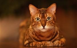 Ojos amarillos gato mire usted, cara, vista frontal