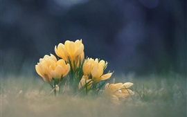 Preview wallpaper Yellow flowers, crocuses, bokeh