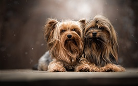 Preview wallpaper Yorkshire terrier, two furry dogs