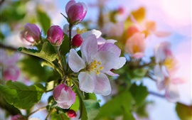 Apple flowers bloom, spring, bokeh