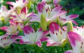 Lindas pétalas de lírio, rosa e branco