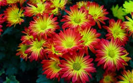 Preview wallpaper Beautiful red-yellow flowers, petals, chrysanthemum