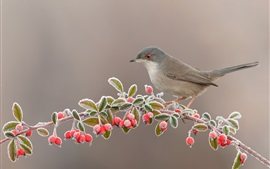 Preview wallpaper Bird, red berries, twigs, frost