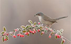 Pássaro, bagas vermelhas, galhos, geada