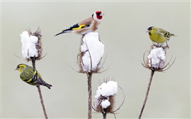 Preview wallpaper Birds, goldfinch, thistle, snow, winter