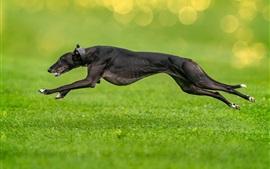 Cão preto correndo, grama