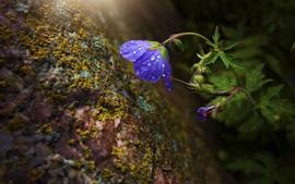 Голубой цветок, капли воды, мох, скалы