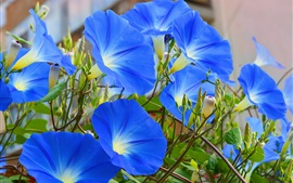 Preview wallpaper Blue flowers, morning glory