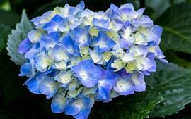 Preview wallpaper Blue hydrangea flowering, spring