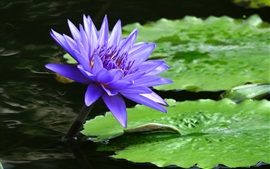 Preview wallpaper Blue water lily flower close-up, green leaf, pond