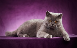 British Shorthair, cat, purple background