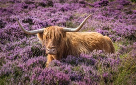 Preview wallpaper Bull, horns, flowers, meadow