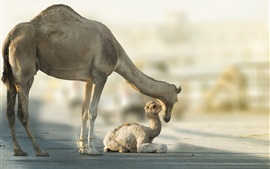 Preview wallpaper Camels, family