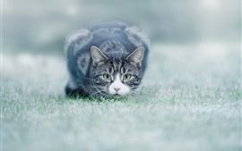 Gato, vista frontal, gramado, bokeh