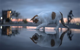 Cat walk on water, reflection