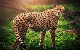 Preview wallpaper Cheetah look back, predator, green grass
