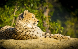 Preview wallpaper Cheetah, wild cat, predator, rest