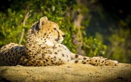 Гепард, дикая кошка, хищник, отдых