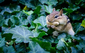 Preview wallpaper Chipmunk eat peanuts, rodent, green leaves