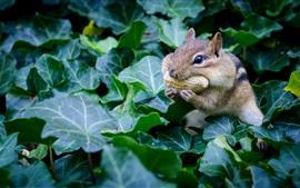 Chipmunk come amendoim, roedor, folhas verdes