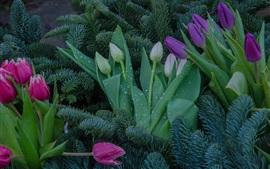 壁紙のプレビュー カラフルなチューリップ、ピンク、紫、白い花、スプルース小枝