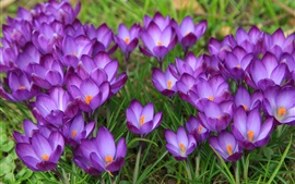 Preview wallpaper Crocuses flowering, spring, purple flowers