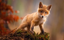 Preview wallpaper Cute red fox look at you
