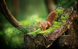 Cute squirrel, moss, forest