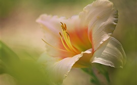 Preview wallpaper Daylilies, petals, stamens