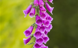 Digitalis, pink flowers, water drops