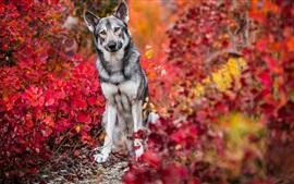 Cão no outono, folhas vermelhas