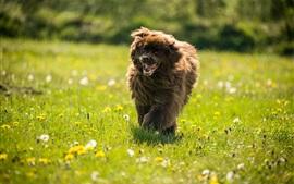 Cão correndo, grama, flores silvestres