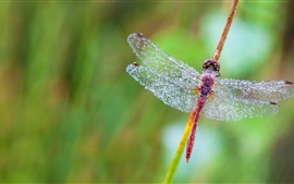 Preview wallpaper Dragonfly, wings, water drops