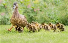 Patos, família, grama, patinhos