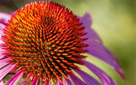 Echinacea close-up, flor, pétalas