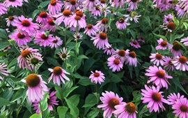 Preview wallpaper Echinacea flowers, pink, garden