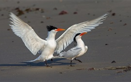 Preview wallpaper Elegant tern, wings, birds